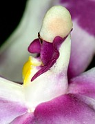 c-ribet-1-orchid-flower-bloom