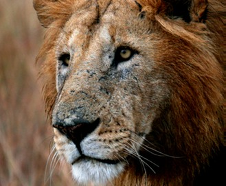 Lion Closeup 6483